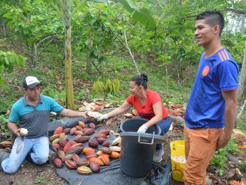 Cultivadores de cacao