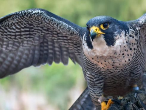 aves-halcon-peregrino-848x477x80xX