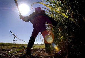 A worker hand-cuts sugarcane for testing, in the Condong sugarcane growing region, in northern New South Wales, Australia, on Friday, July 13, 2007. Scott Perkins, from Mackay Canegrowers, an industry lobby group, said a shortage of workers in the sugar industry in Australia, the world's third-largest exporter of the sweetener, isn't easing. Perkins spoke in an interview at the 9th World Beet & Cane Growers Conference in Brisbane yesterday Photographer: Jack Atley/Bloomberg News