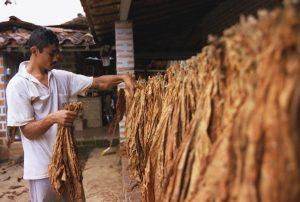 Secado de hojas de tabaco en un caney. foto: Juan Carlos Domínguez