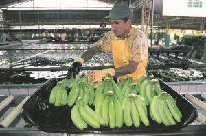 El hongo puede acabar con toda las producción y exportaciones de banano del país.