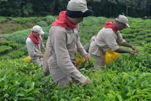 Recolección de las hojas del cultivo del te, en el corregimiento Bitaco, municipio La Cumbre, Valle del Cauca.