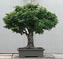 220px-Japanese_Zelkova,_1895-2007