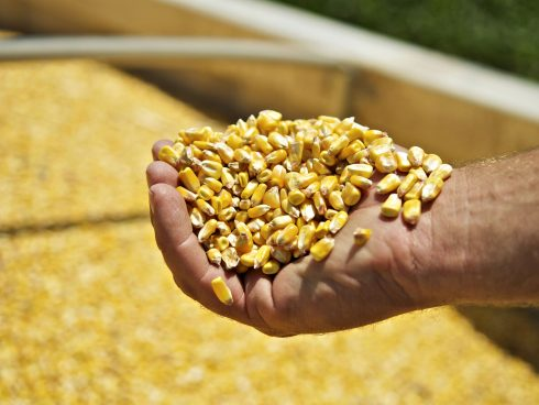 Desde enero hasta agosto del 2019 se importaron 3'899.039 toneladas de maíz amarillo.